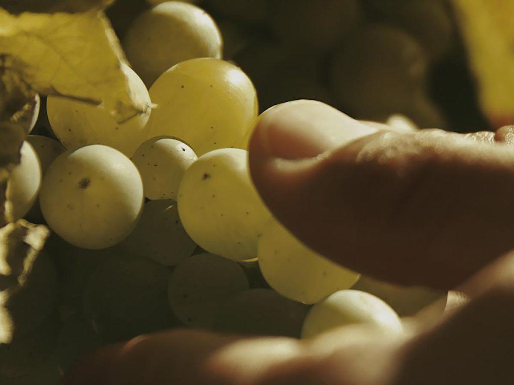 vermentino grape