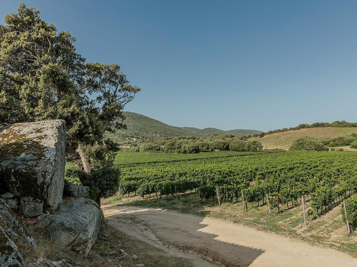 Balajana vineyards
